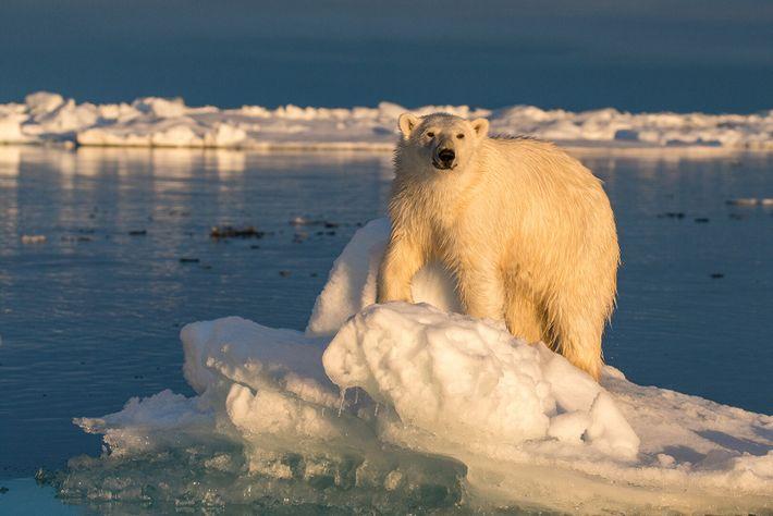 Les ours polaires ont l'air d'être blancs, mais leurs pelages sont en fait transparents, composés de ...