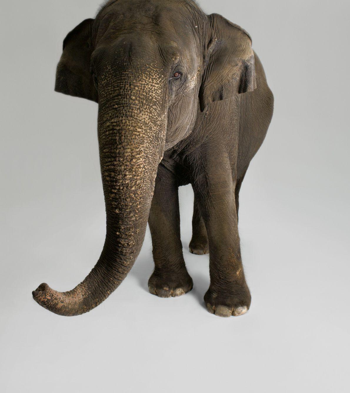 Les chercheurs ont documenté une large palette de comportements chez les éléphants d'Asie qui démontrent une ...