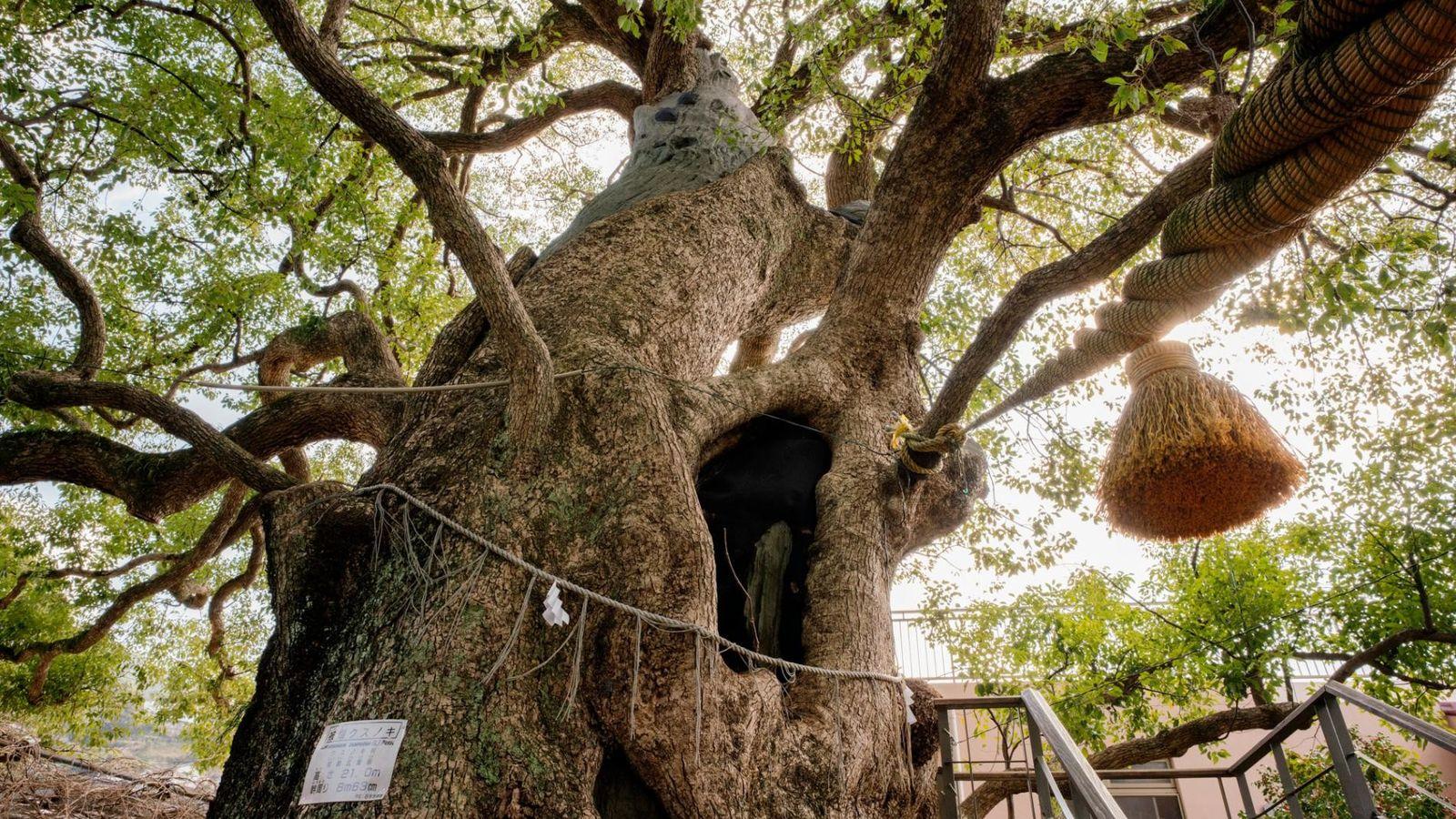 Deux camphriers gardent l'entrée du Sannō-Jinja, un sanctuaire situé à 900 m du site de bombardement atomique ...