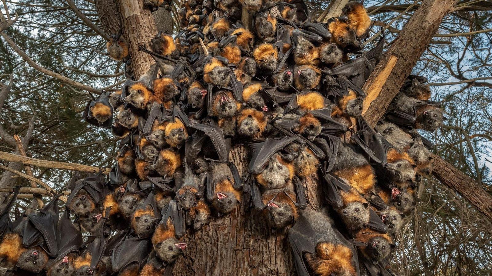 À bout de souffle à cause du manque d'air, des dizaines de renards volants à tête ...