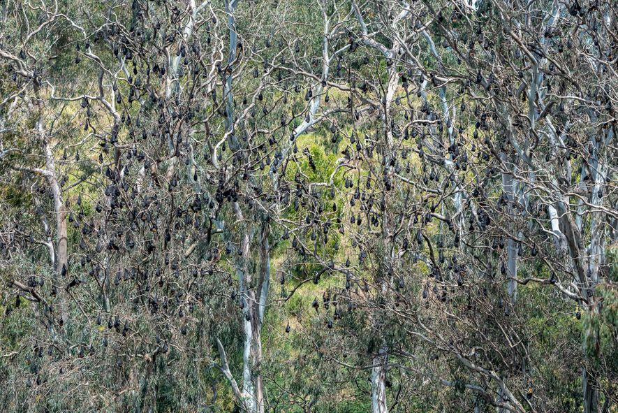 Des renards volants à tête grise se suspendent aux arbres du parc Yarra Bend. Avant le ...