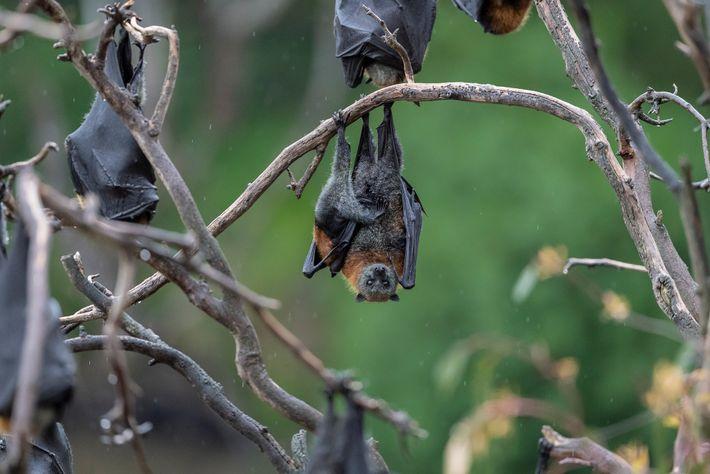 Une mère renard volant à tête grise est suspendue à une branche dans le parc Yarra ...