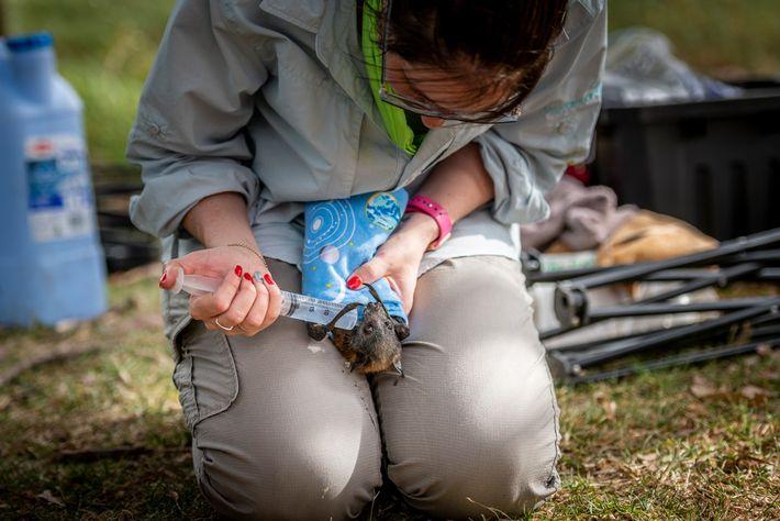 La secouriste pour animaux Kate Chamberlain abreuve un renard volant à tête grise déshydraté dans le ...