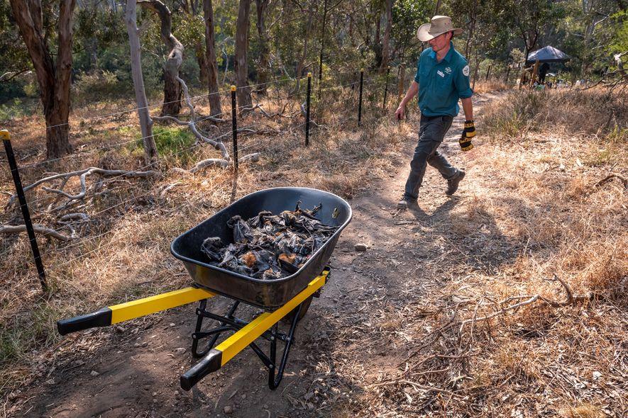 Le ranger du parc Yarra Bend Stephen Brend pousse une brouette remplie de roussettes décédées que ...