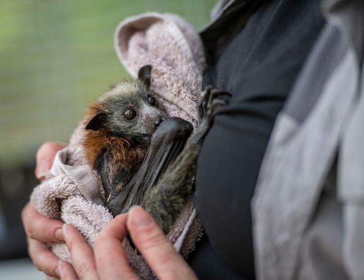 Tamsyn Hogarth tient dans ses bras un jeune renard volant à tête grise secouru dans le ...