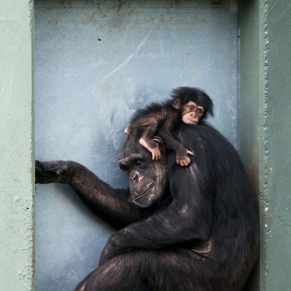 Les mères chimpanzés nous ressemblent plus qu'on ne le croit