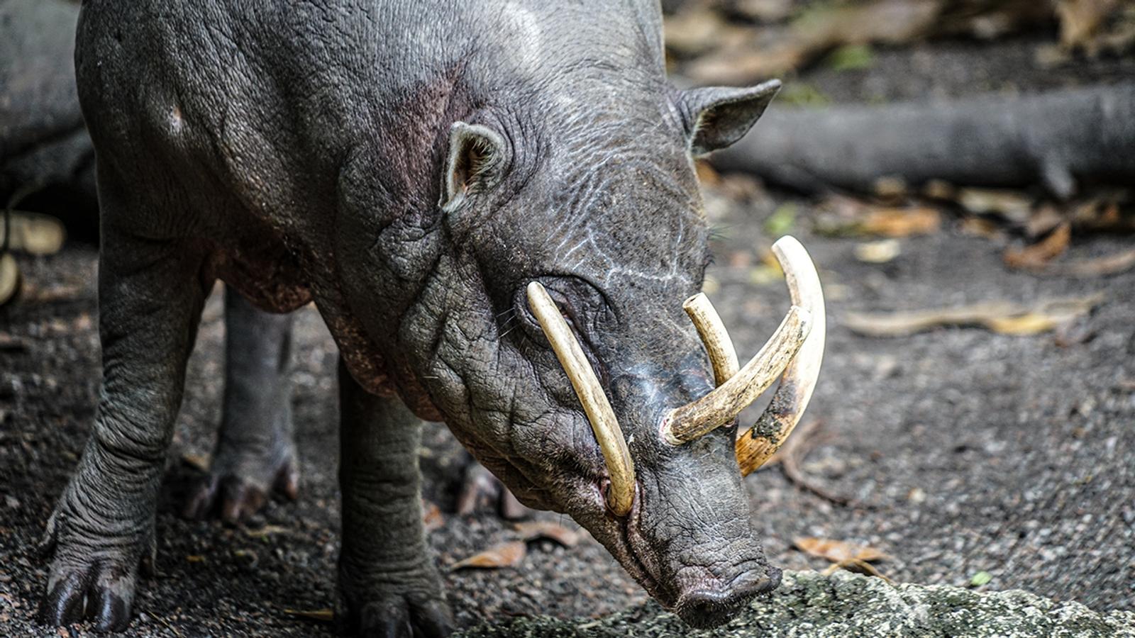 Photo d'un babiroussa sauvage.
