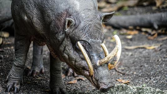 Le babiroussa, animal belliqueux aux armes fragiles