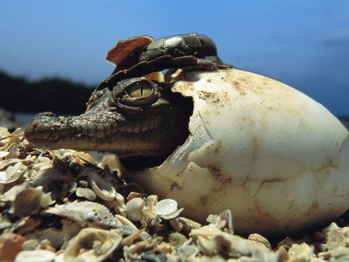 Un œuf de crocodile vient d'éclore