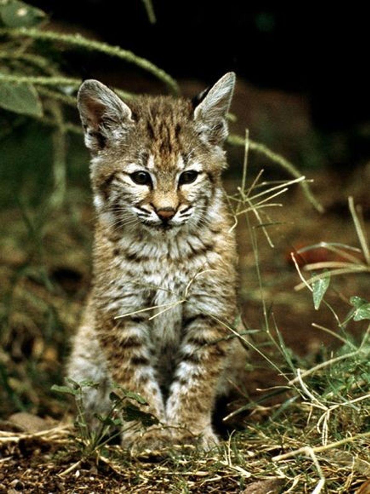 Petit lynx roux dans la nature