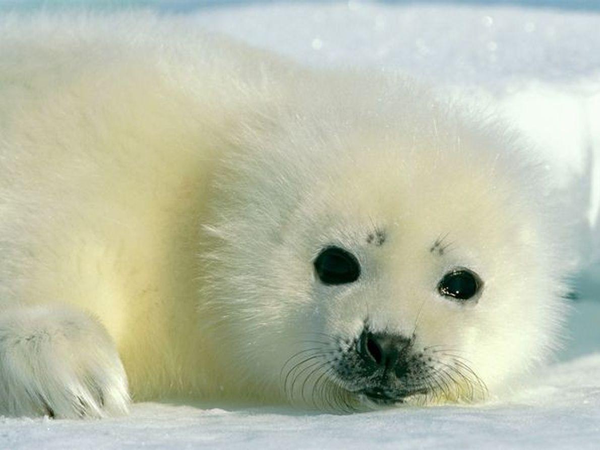 Bébé phoque du Groenland