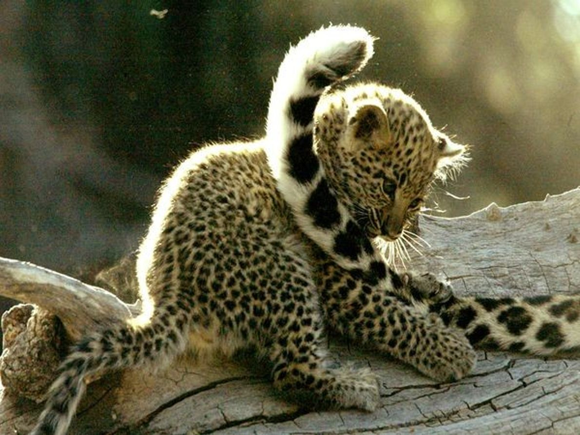 Petit léopard en plein jeu avec la queue de sa mère