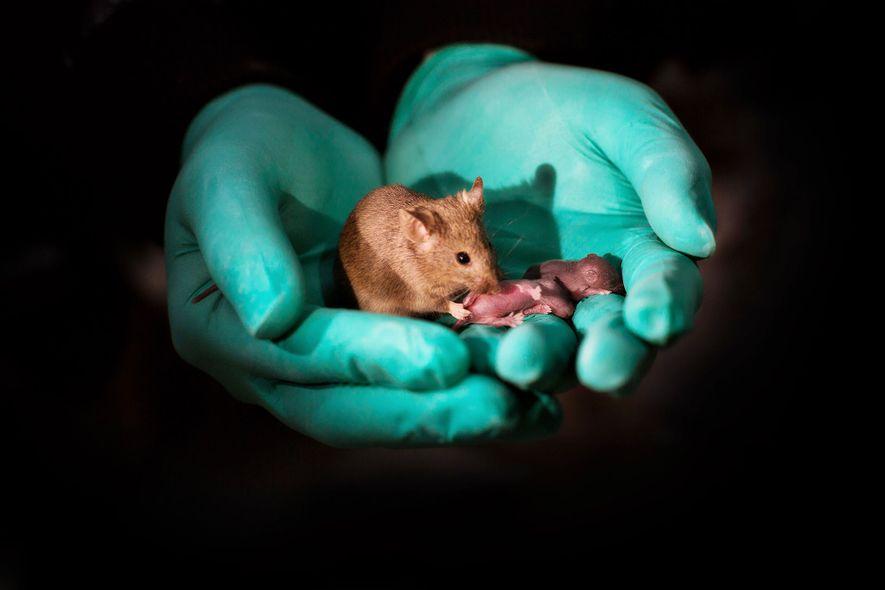 À l'aide de la technologie de modification génétique, deux souris femelles ont donné naissance à ce ...