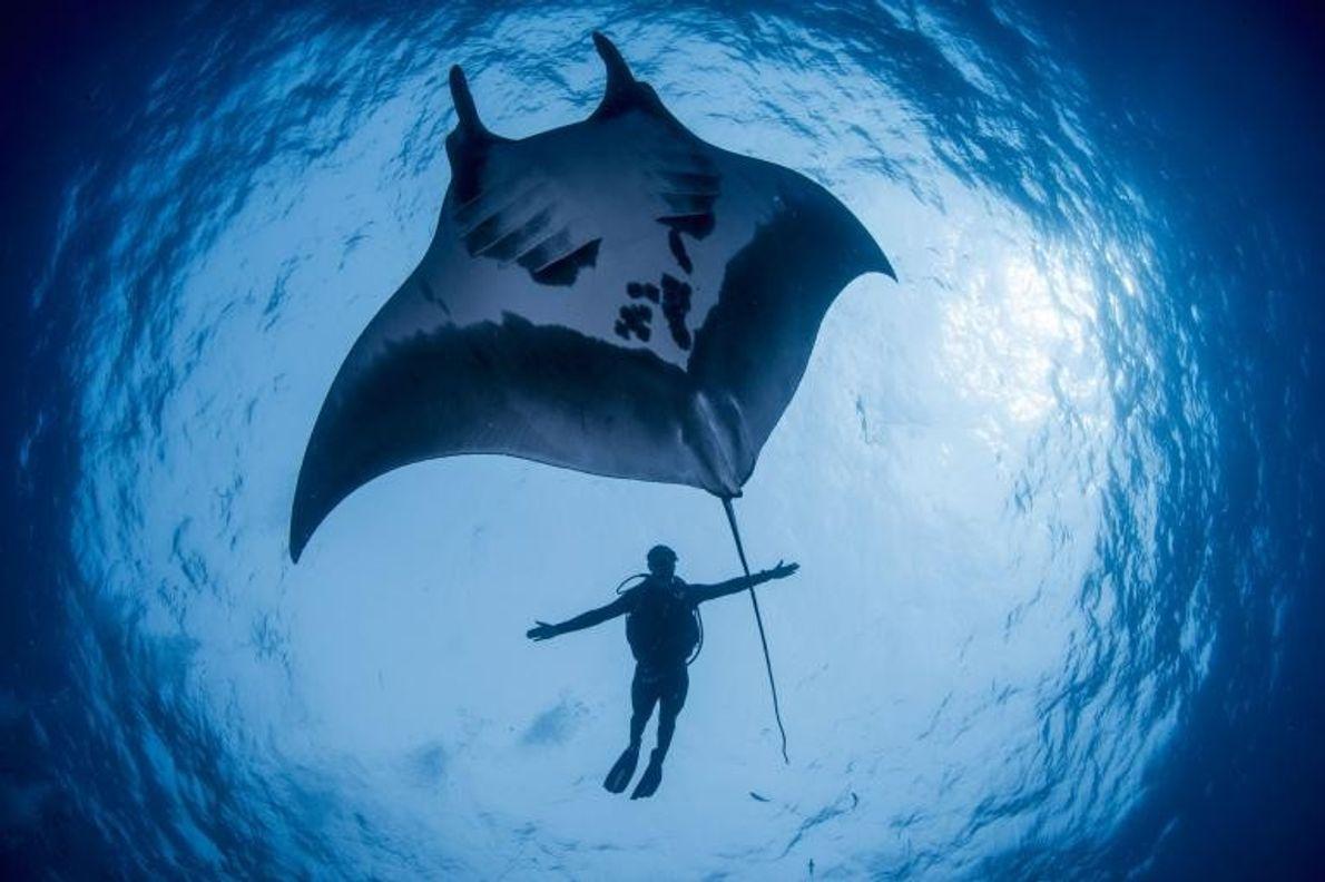 Le biologiste marin Guy Stevens (Manta Trust) se mesure à une raie manta dans la réserve ...