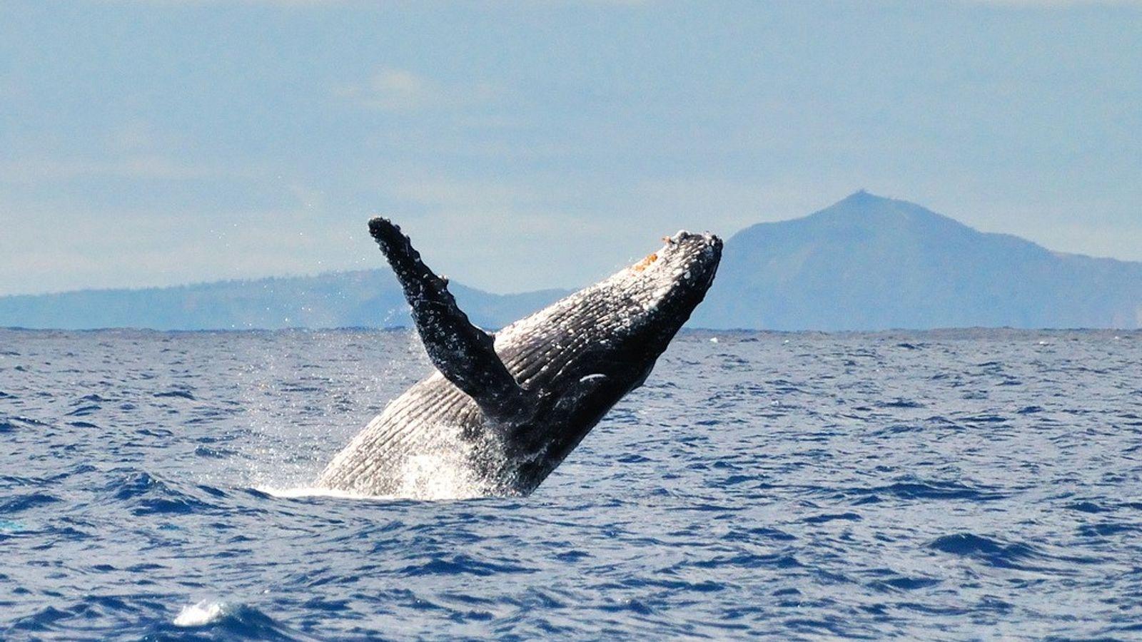 Énigme scientifique : ces baleines qui secourent d'autres animaux