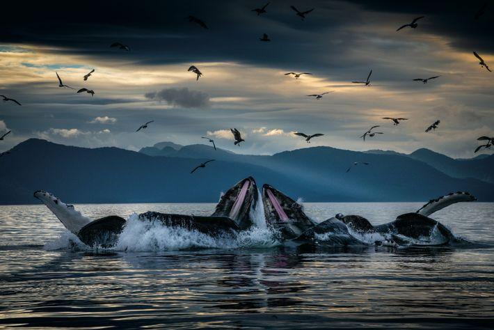 Au large des côtes de l'Alaska, des baleines à bosse encerclent des harengs grâce à des ...