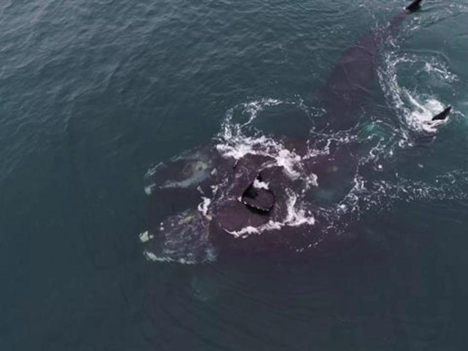 Deux baleines en voie de disparition s'enlacent dans des images rares