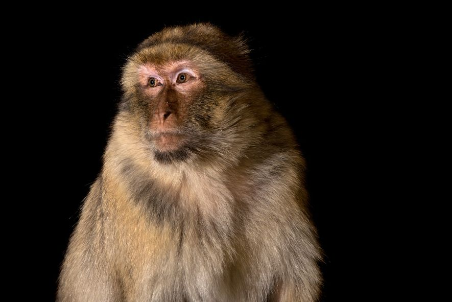Les macaques berbères mâles (ci-dessus, un animal en captivité au Parco Natura Viva en Italie) ont ...