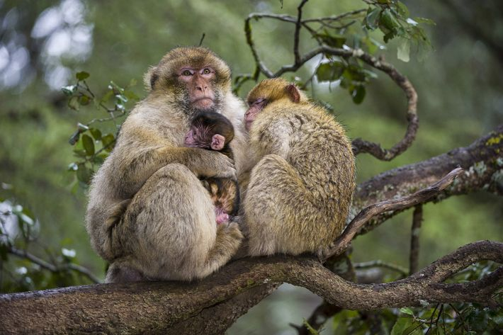 barbary-macaque-animal-stepdad-2