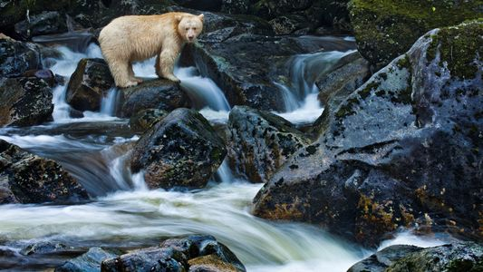Pourquoi cet ours noir est-il blanc ?