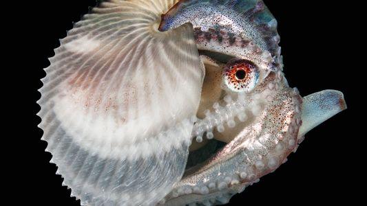 Cet octopode est prêt à tous les sacrifices pour se reproduire