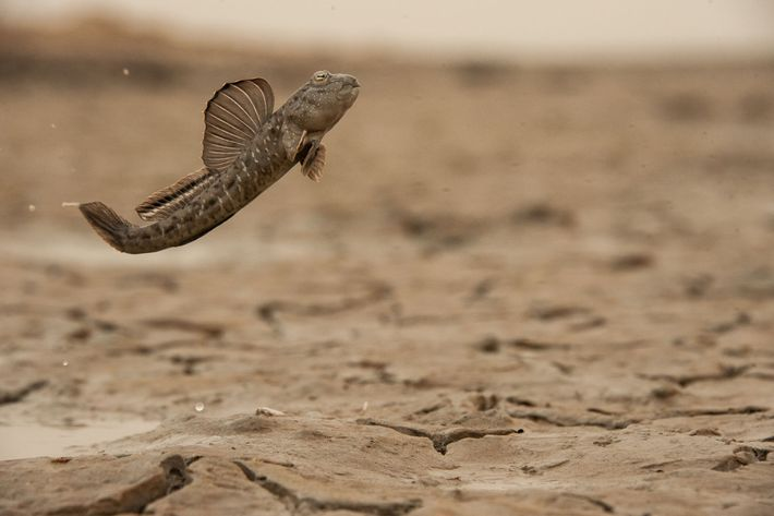 Quand il est temps pour les oxudercinae de se reproduire, les mâles tentent d'attirer les femelles ...