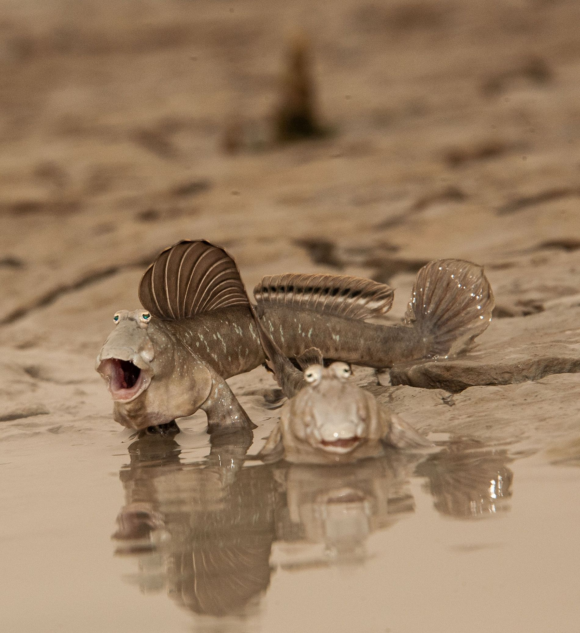 basic-instincts-mudskippers-pair1.jpg