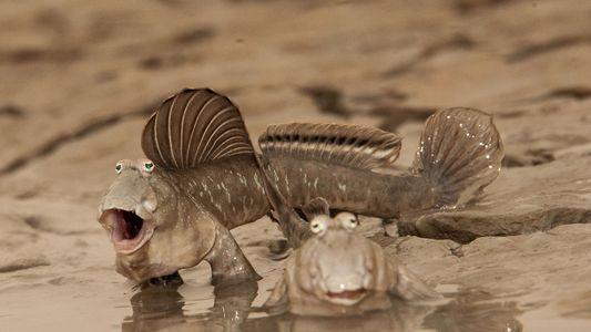 Les oxudercinae, ces drôles de poissons qui se reproduisent hors de l'eau