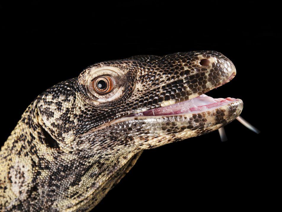 La femelle dragon de Komodo peut se reproduire sans l'aide d'un mâle