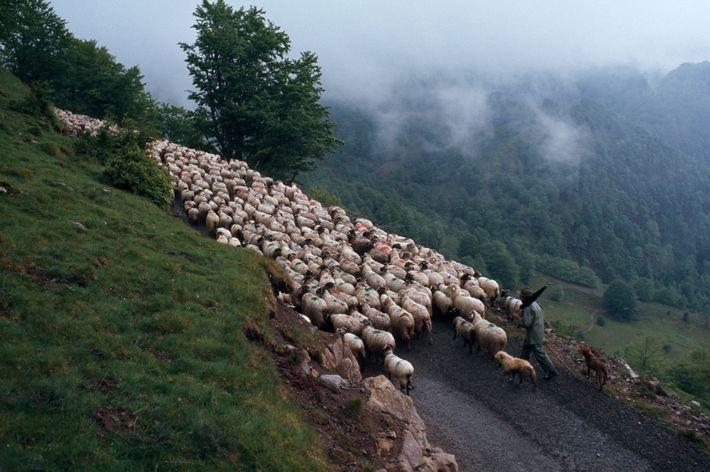 Un berger basque marche derrière son troupeau de mouton sur le flanc embrumé d'une montagne des ...