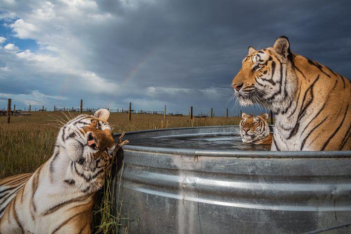 Clay, Daniel et Enzo, trois des 39 tigres sauvés des griffes d'un parc animalier de l'Oklahoma, ...