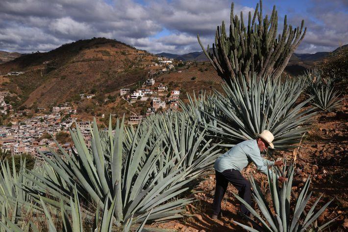 Toribio Hernandez arpente sa plantation d'agave à Oaxaca, au Mexique. En récoltant le cœur riche en ...