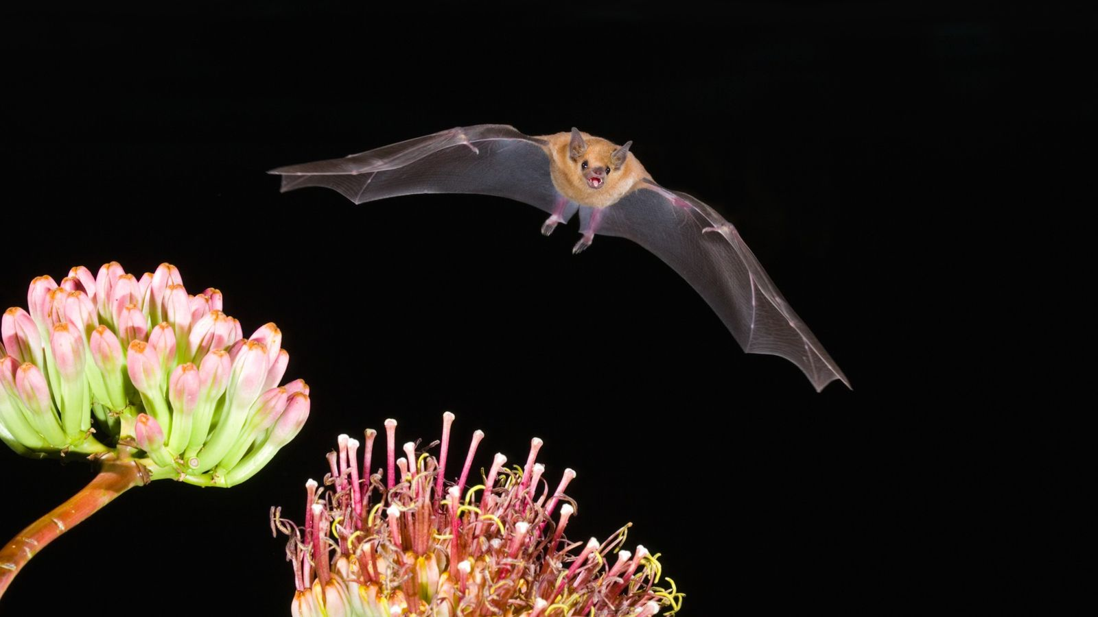 La chauve-souris Leptonycteris yerbabuenae, un pollinisateur essentiel pour les écosystèmes désertiques, est l'une des trois seules ...