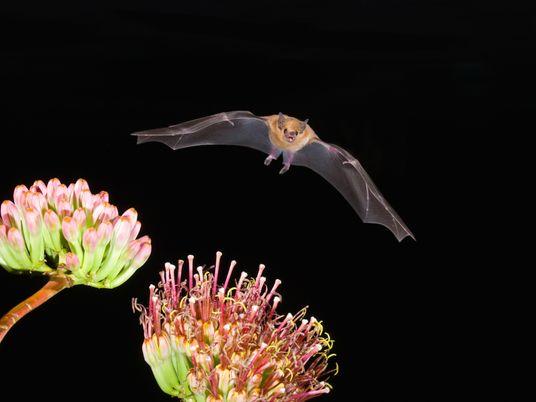 La croissante popularité du mezcal menace cette espèce de chauves-souris