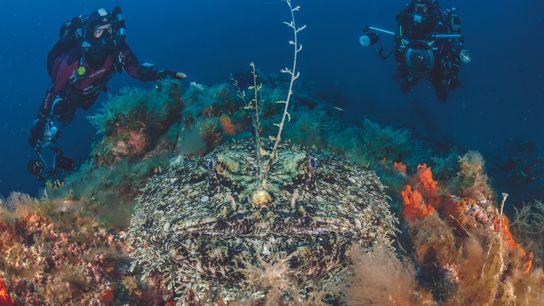 Prise au large de l'île de Port-Cros, cette vue de face d'une baudroie révèle sa corpulence ...