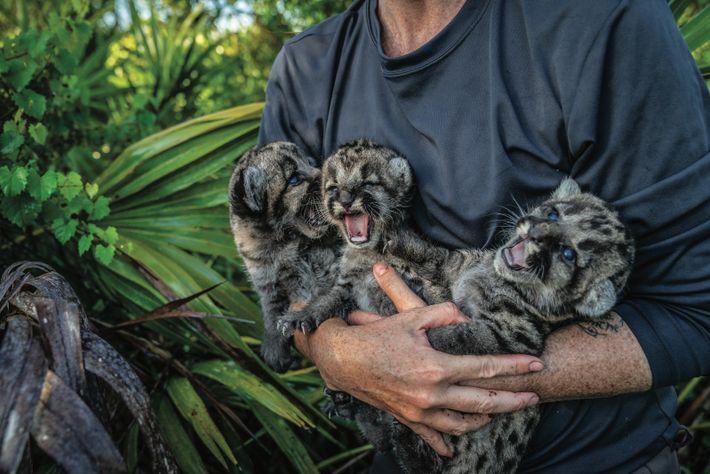 Lara Cusack, une vétérinaire spécialiste de la faune sauvage, tient d'autres petits de FP224. En l'absence ...