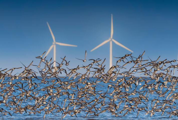 Un vol d'une sous-espèce de bécasseau maubèche, près d'un parc éolien offshore, en mer d'Irlande. Celle-ci ...