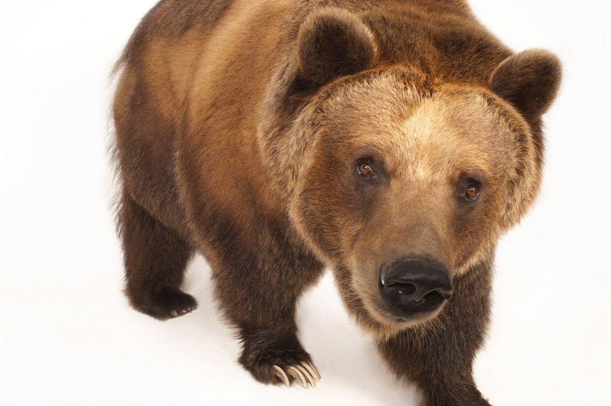 Les grizzlys peuvent atteindre les 2,50m de longueur pour un poids dépassant les 450kg.