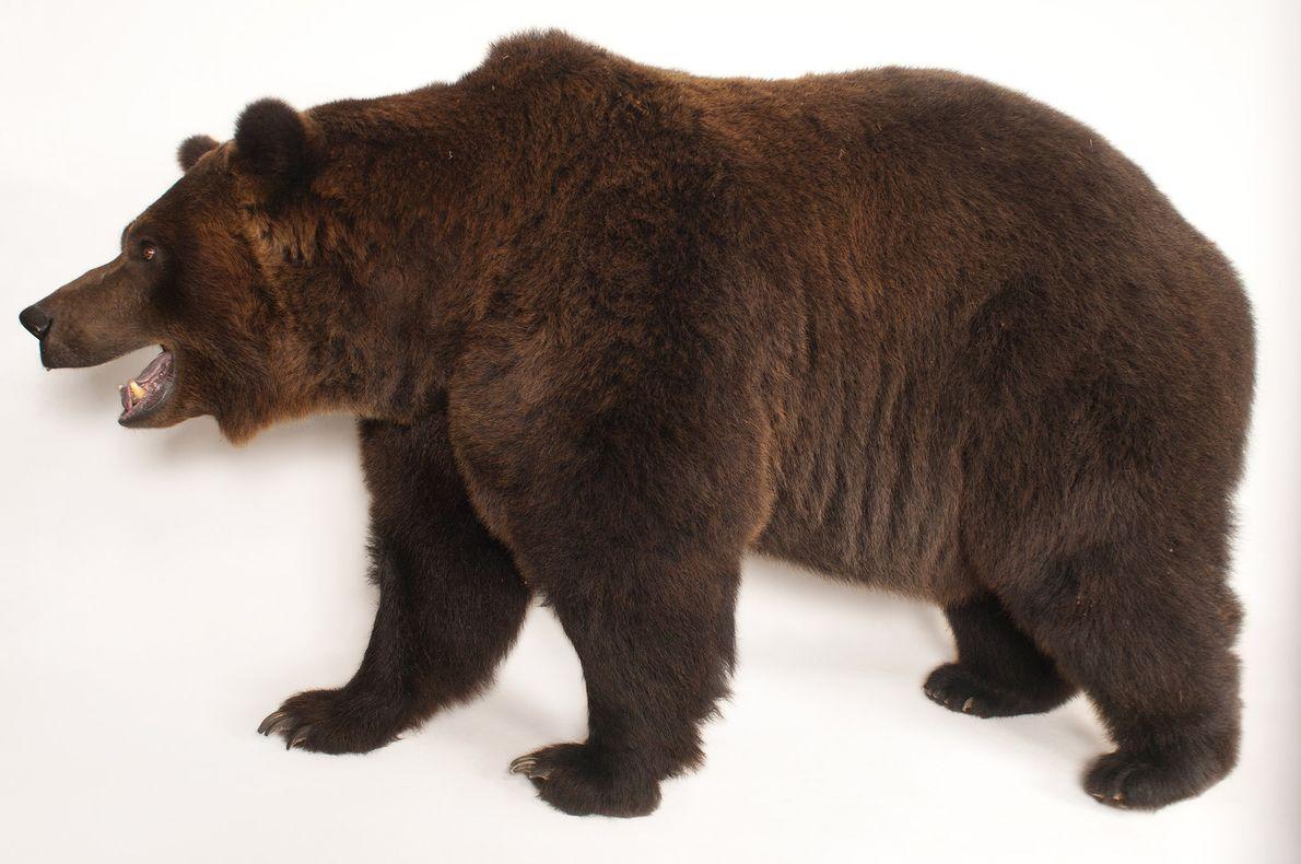 Comme tous les ours vivant aujourd'hui, les grizzlys descendent d'un ancêtre qui aurait vécu il y ...