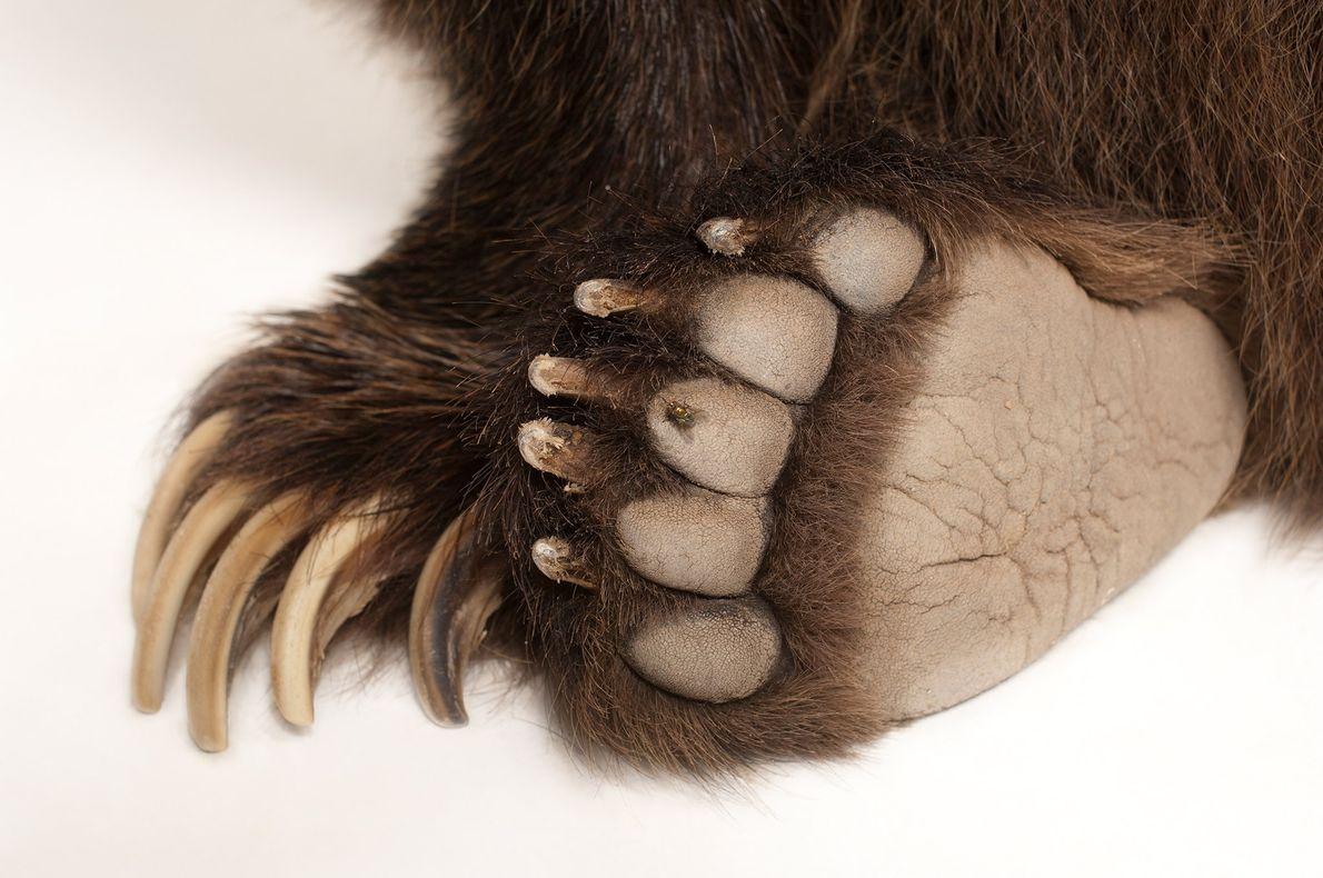 Les grizzlys utilisent leurs griffes courbées pour creuser leur tanière à flanc de colline dès que ...