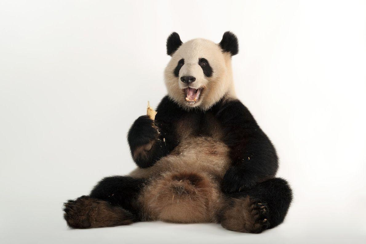 Les pandas géants, comme Lun Lun ci-dessus, aiment tellement manger du bambou qu'ils peuvent parfois y ...