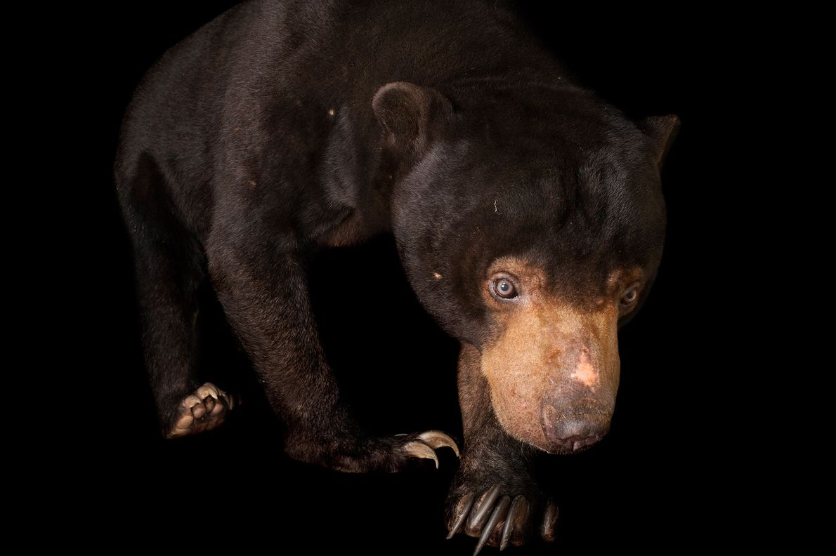 L'ours malais est une sous-espèce de l'ours d'Asie, on ne le trouve que sur l'île de ...