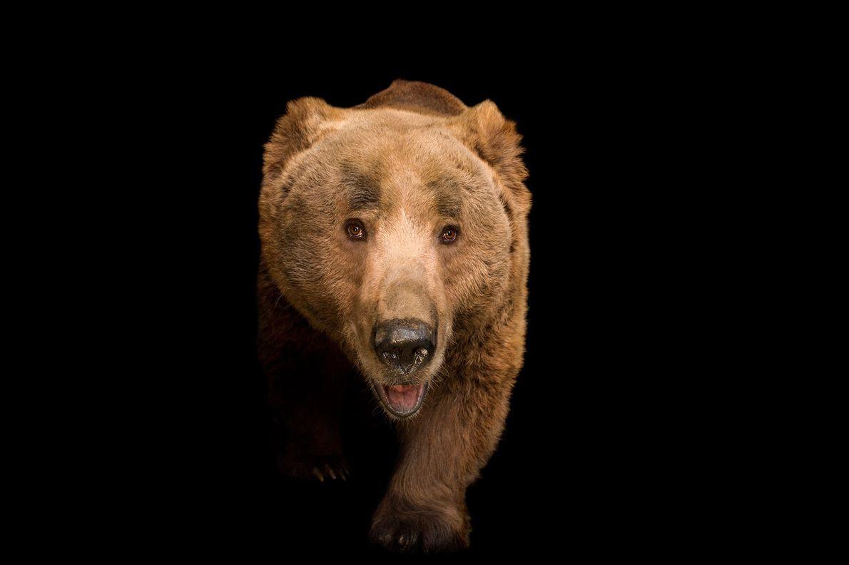 L'ours Isabelle est une sous-espèce de l'ours brun vivant au Pakistan, en Inde, au Népal, au ...