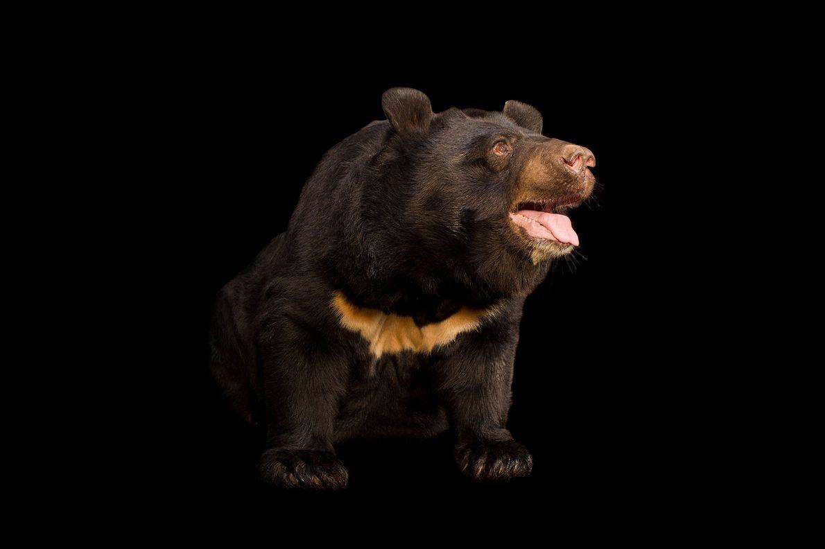 L'ours noir d'Asie est également appelé ours du Tibet ou ours à collier. Ils sont chassés ...
