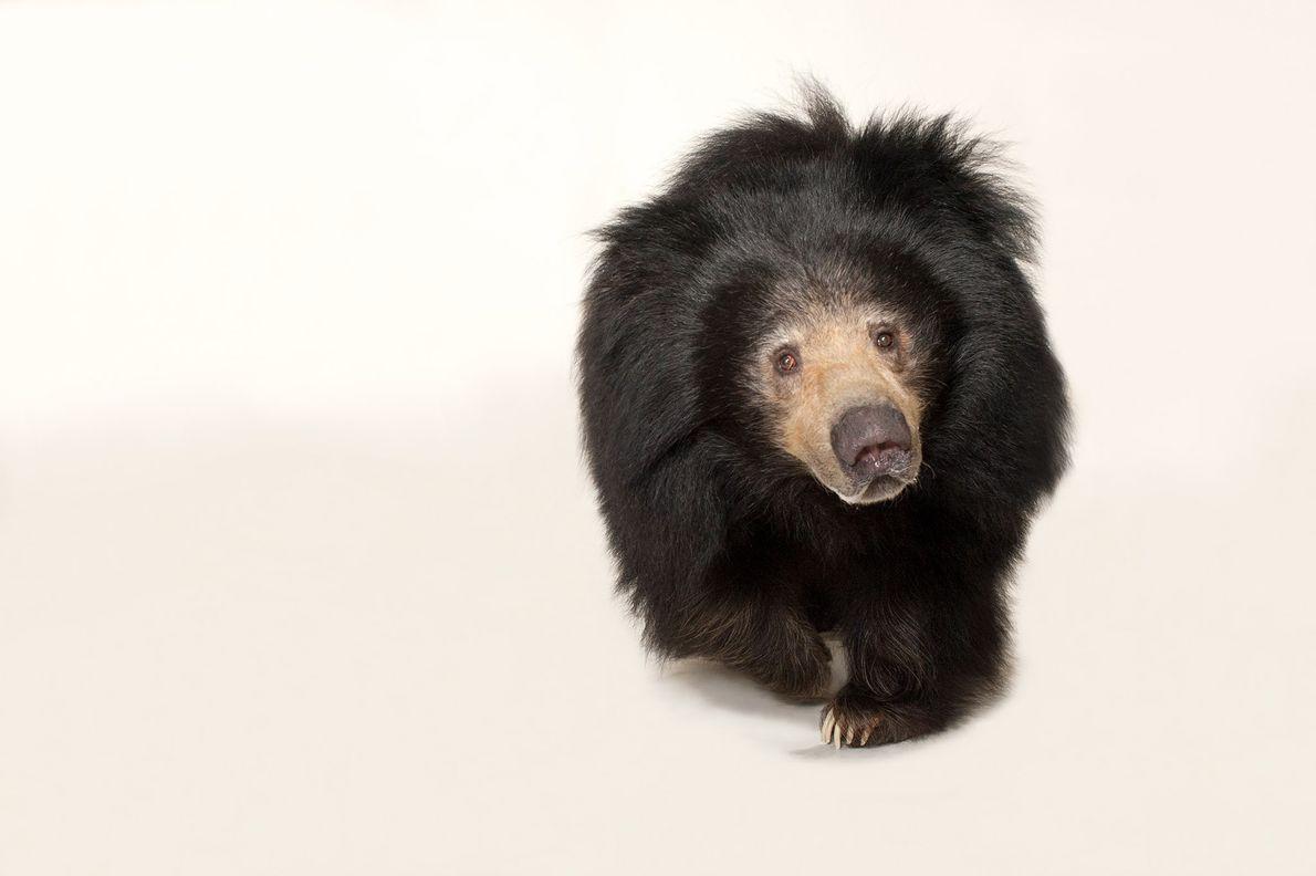 Également appelé ours paresseux, l'ours lippu se nourrit principalement de termites et de fourmis qu'il extrait ...