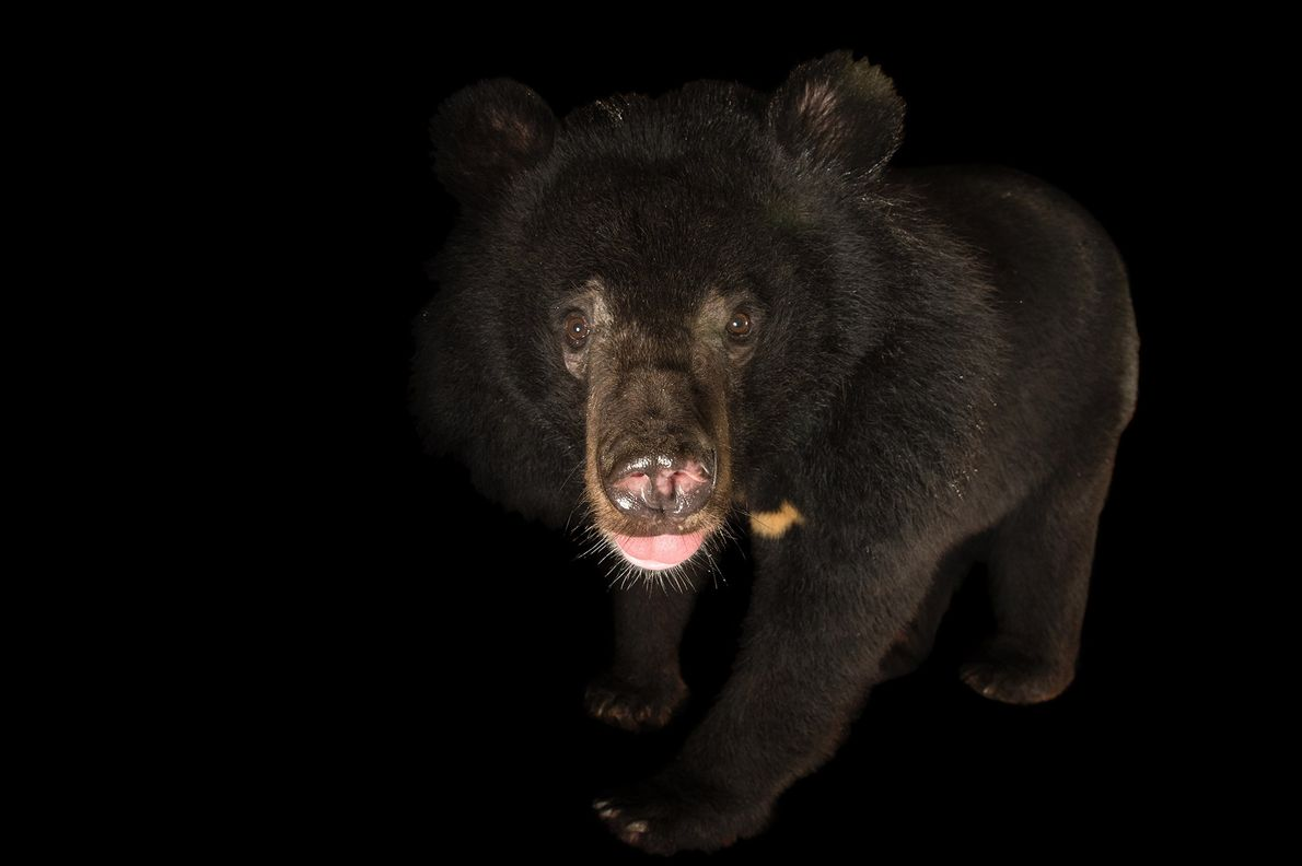 L'ours noir d'Asie est considéré comme vulnérable à l'extinction. En plus d'être chassé pour sa vésicule ...