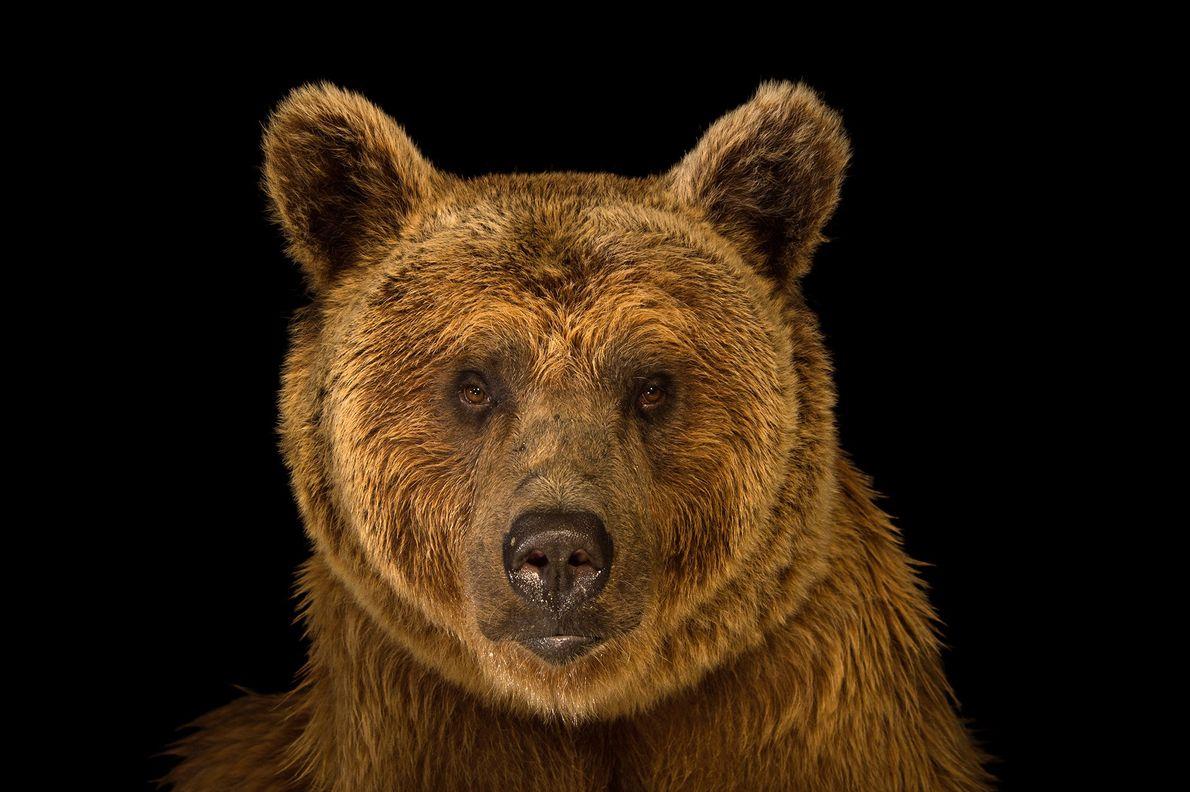 Avec un poids d'environ 250kg, l'ours brun de Syrie est la plus petite des sous-espèces d'ours ...