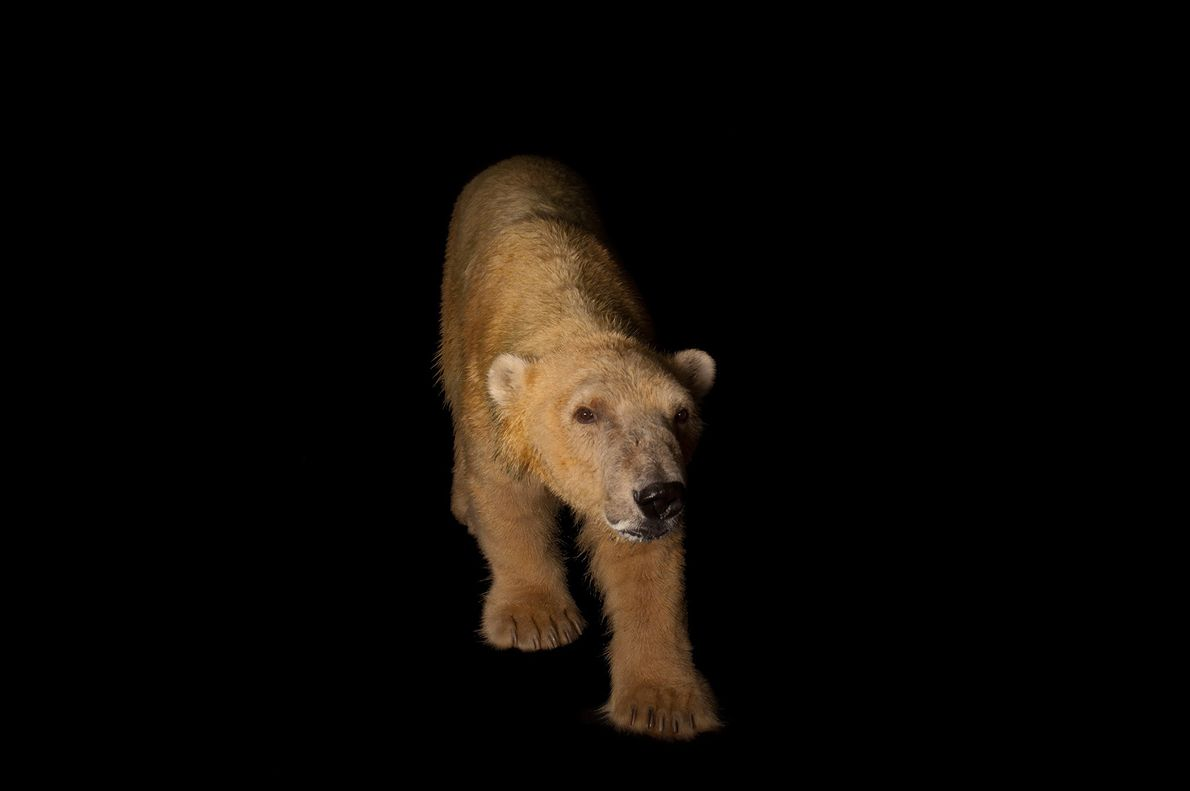 Avec leurs pattes partiellement palmées, les ours blancs sont des nageurs hors pair.