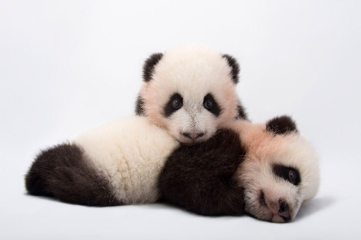 Mei Lun et Mei Huan vivent au zoo d'Atlanta.