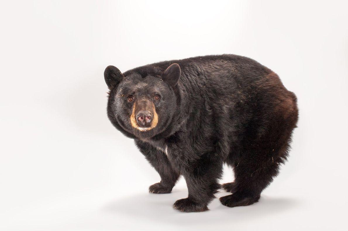 Les ours noirs américains vivent dans les forêts d'Amérique du Nord et grimpent aux arbres comme ...